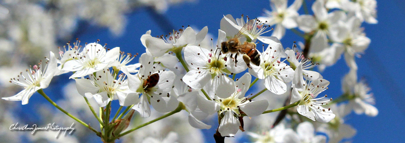 bee on bradford pear blossom