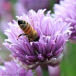 honeybee in chive bloom