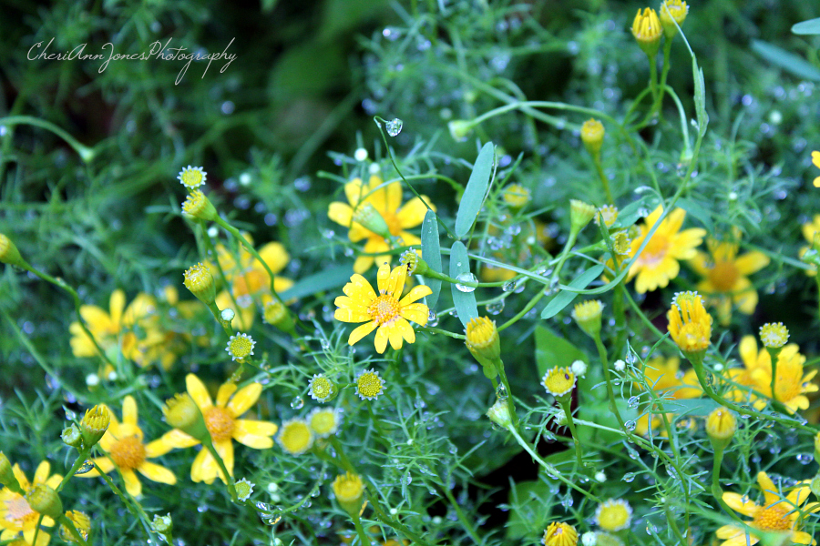 yellow flowers with dew