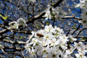 bee on bradford pear tree