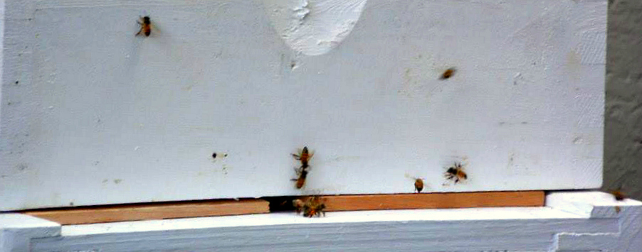 bees at hive box