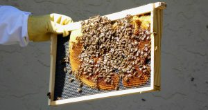 hive frame with bees